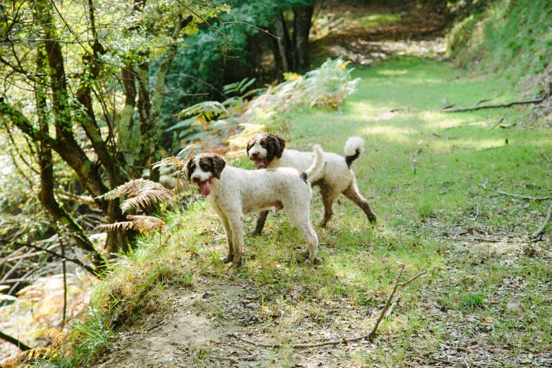 Two dogs side by side hunting for truffles at the edge of a forest.