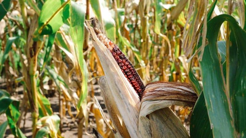 A close up of a partially open corn husk.