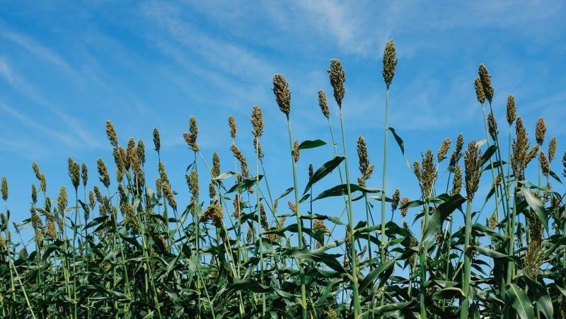 Corn stalks growing in front of blue skies.