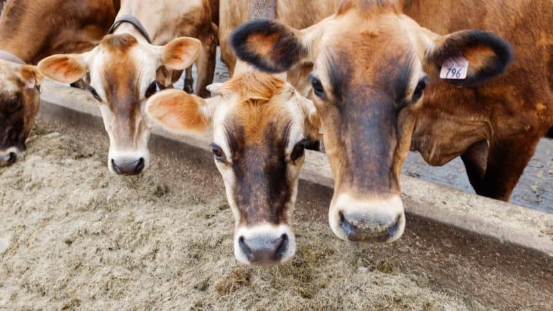 A group of cattle standing on top of a dirt field.