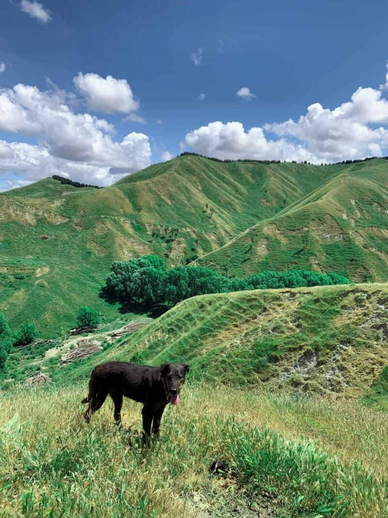 A brown dog standing on top of a lush green hillside.