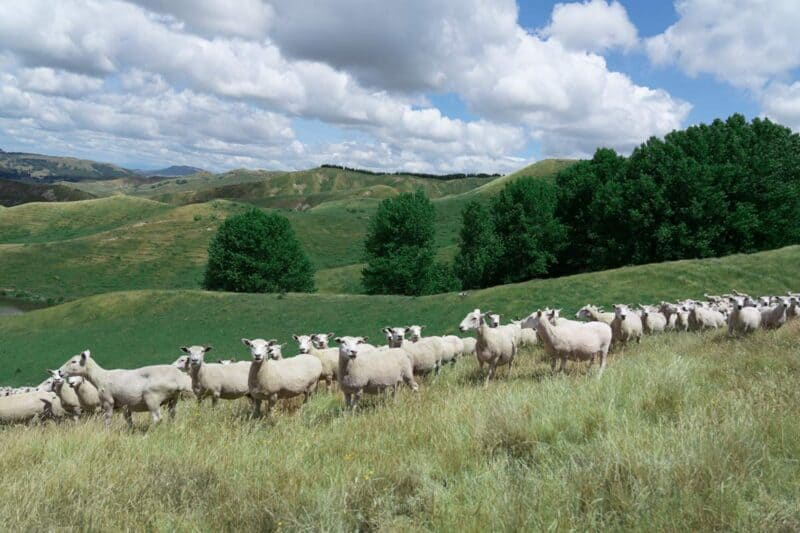 A herd of sheep standing on top of a grass covered field