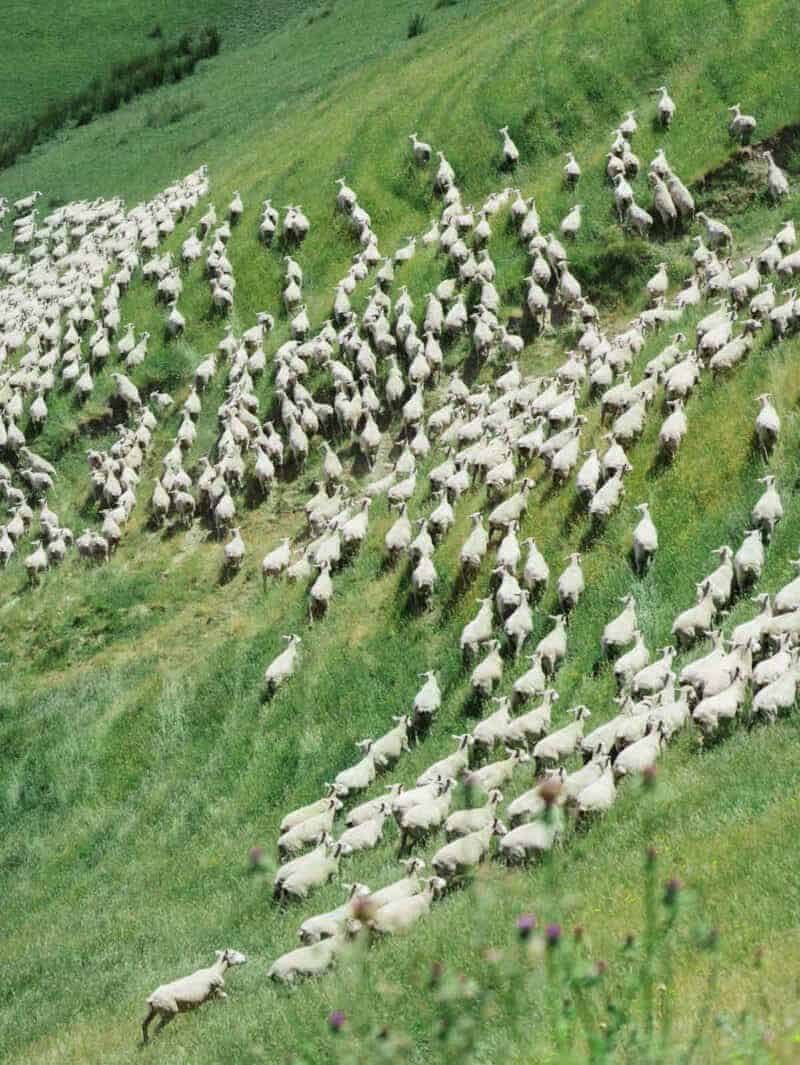 A herd of sheep walking across a lush green hillside.