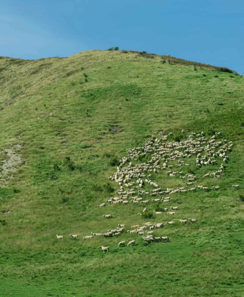 Lamb on a very green hillside in New Zealand.