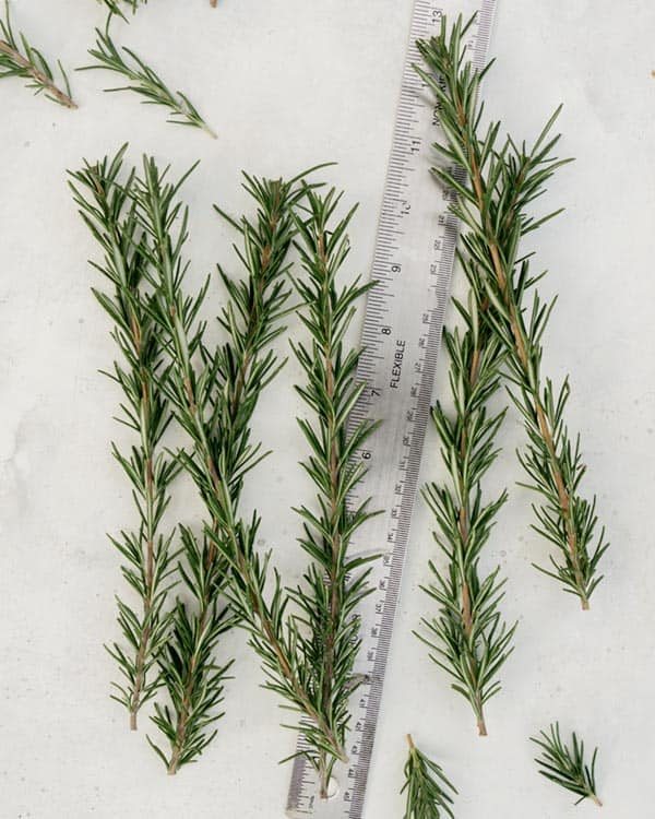 Measuring rosemary sprigs with a ruler.